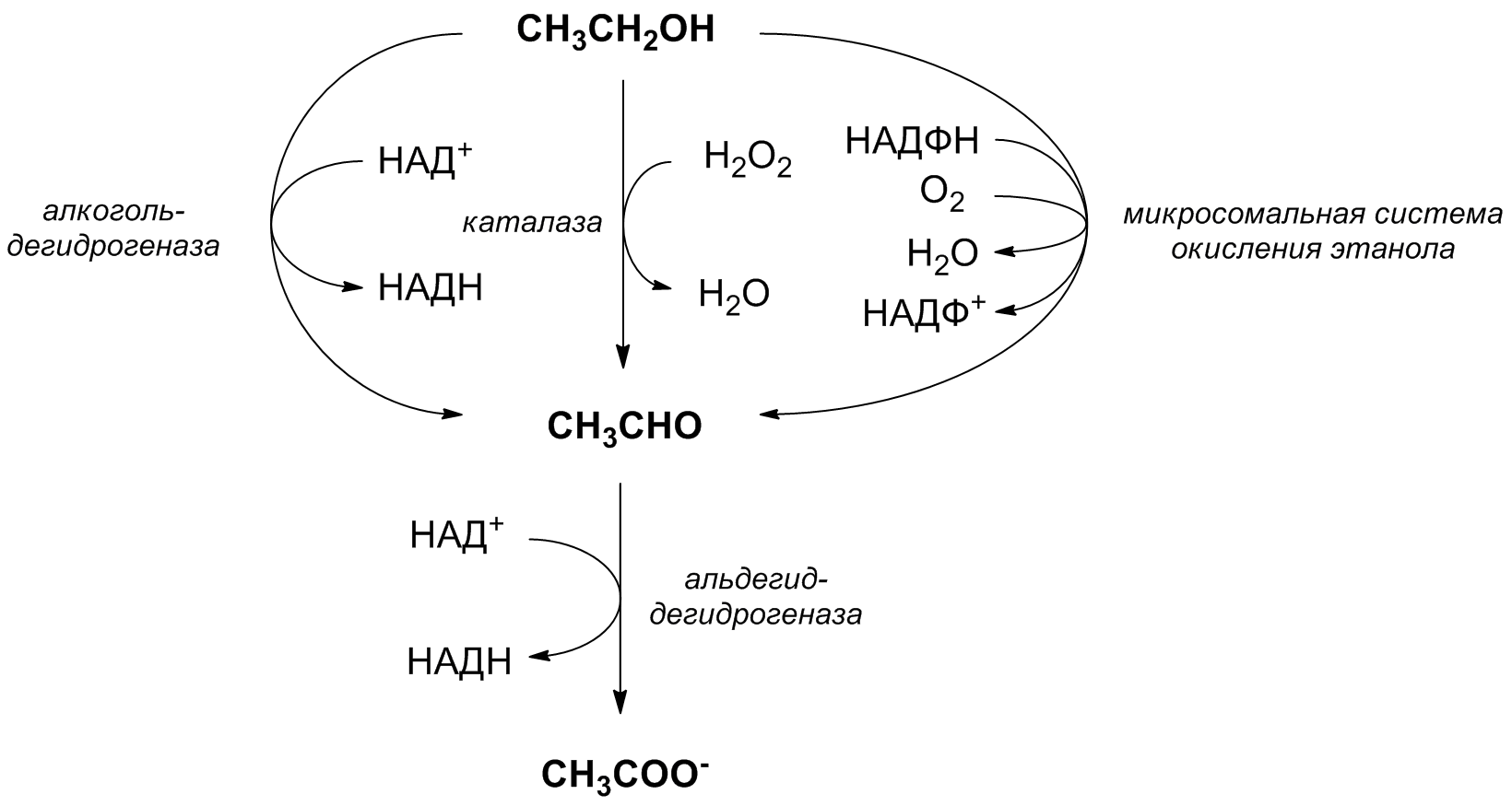 File:Ethanol metabolism.png - Wikimedia Commons