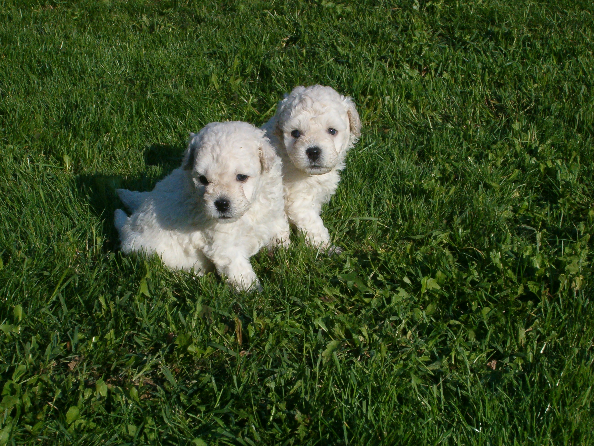 Puli Dogs Puppies
