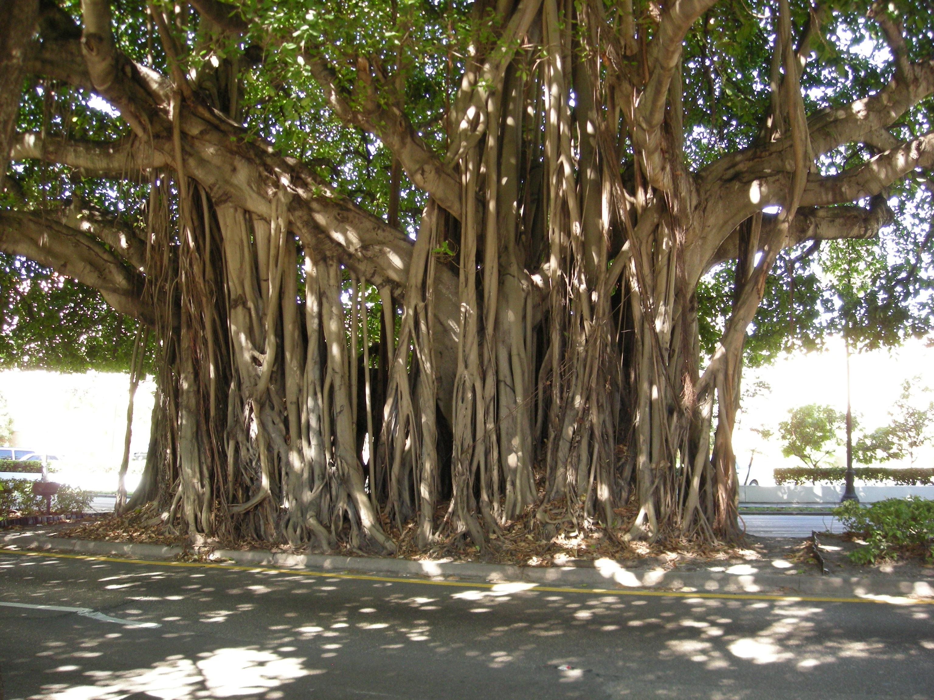 https://upload.wikimedia.org/wikipedia/commons/e/e0/Ficus-Benghalensis-Coral-Gables.JPG