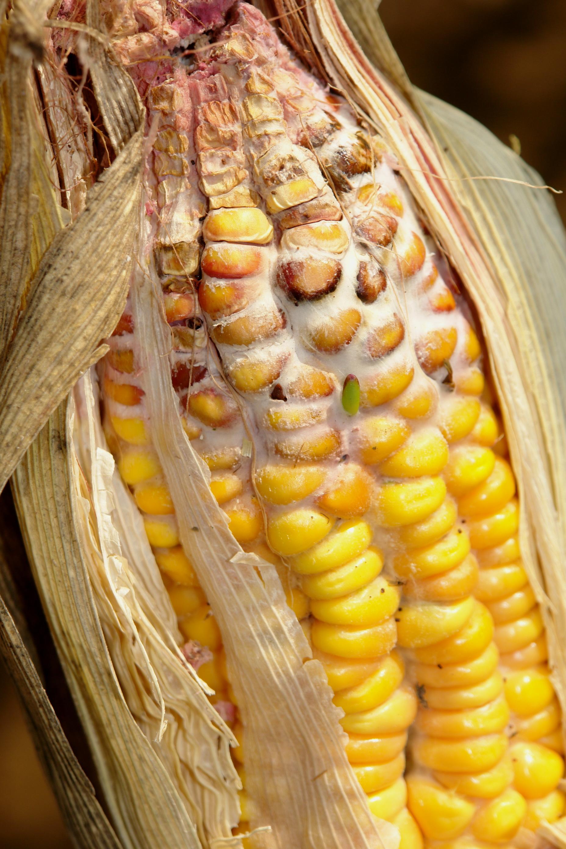 Ear Of Corn Weiner Dog