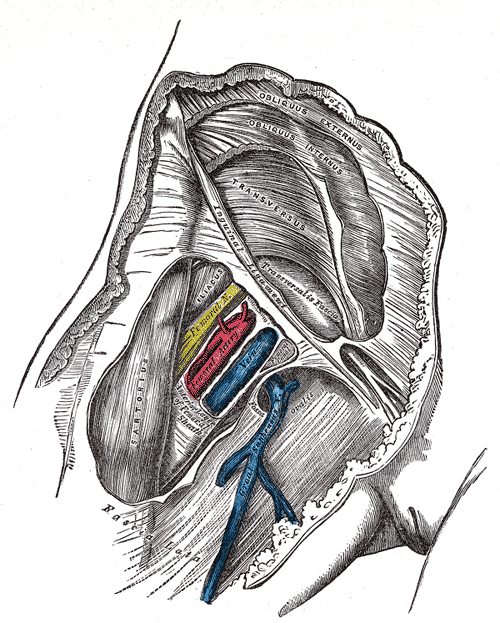 femoral nerve - wikiwand, Muscles
