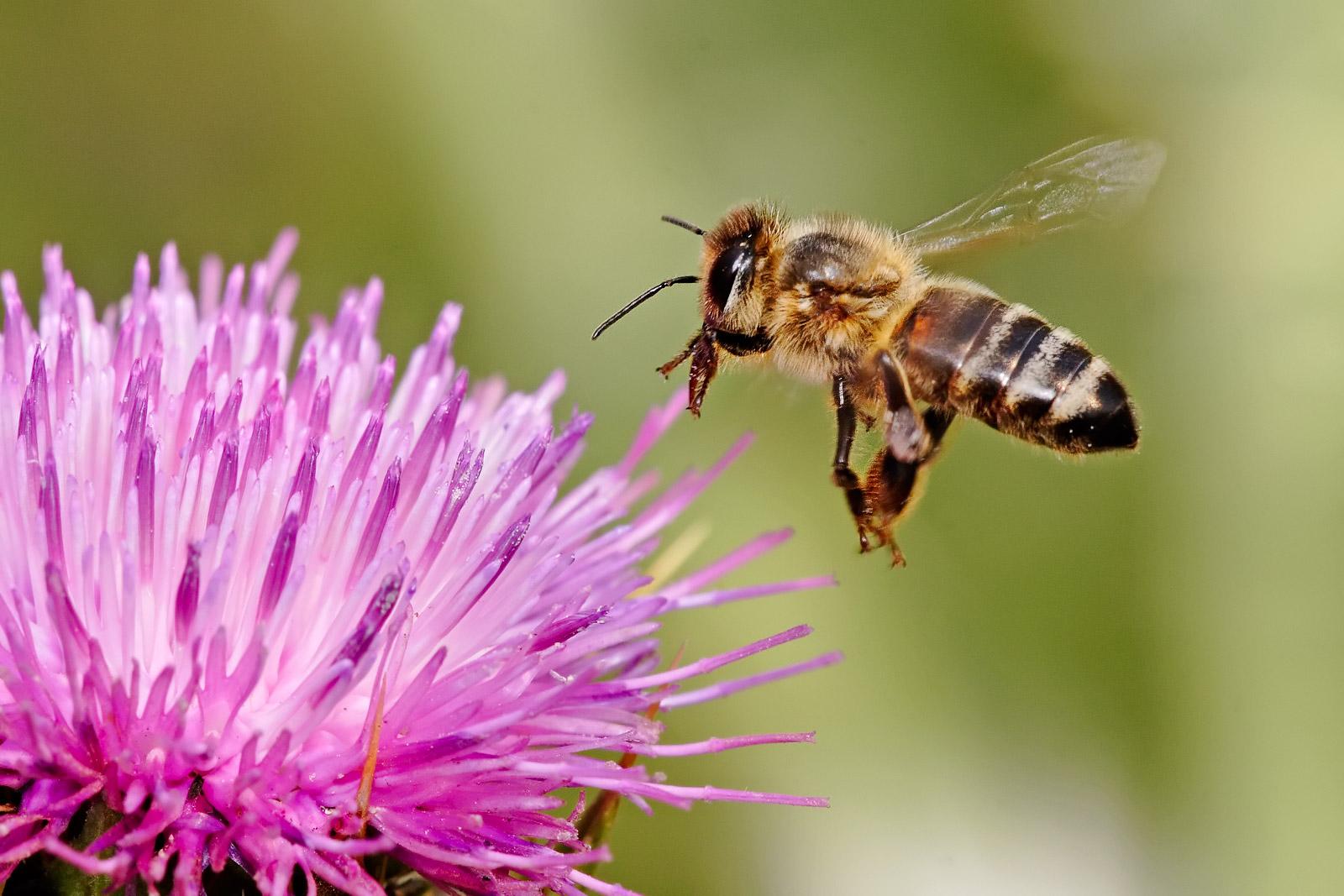Honeybee landing on milkthistle02.jpg