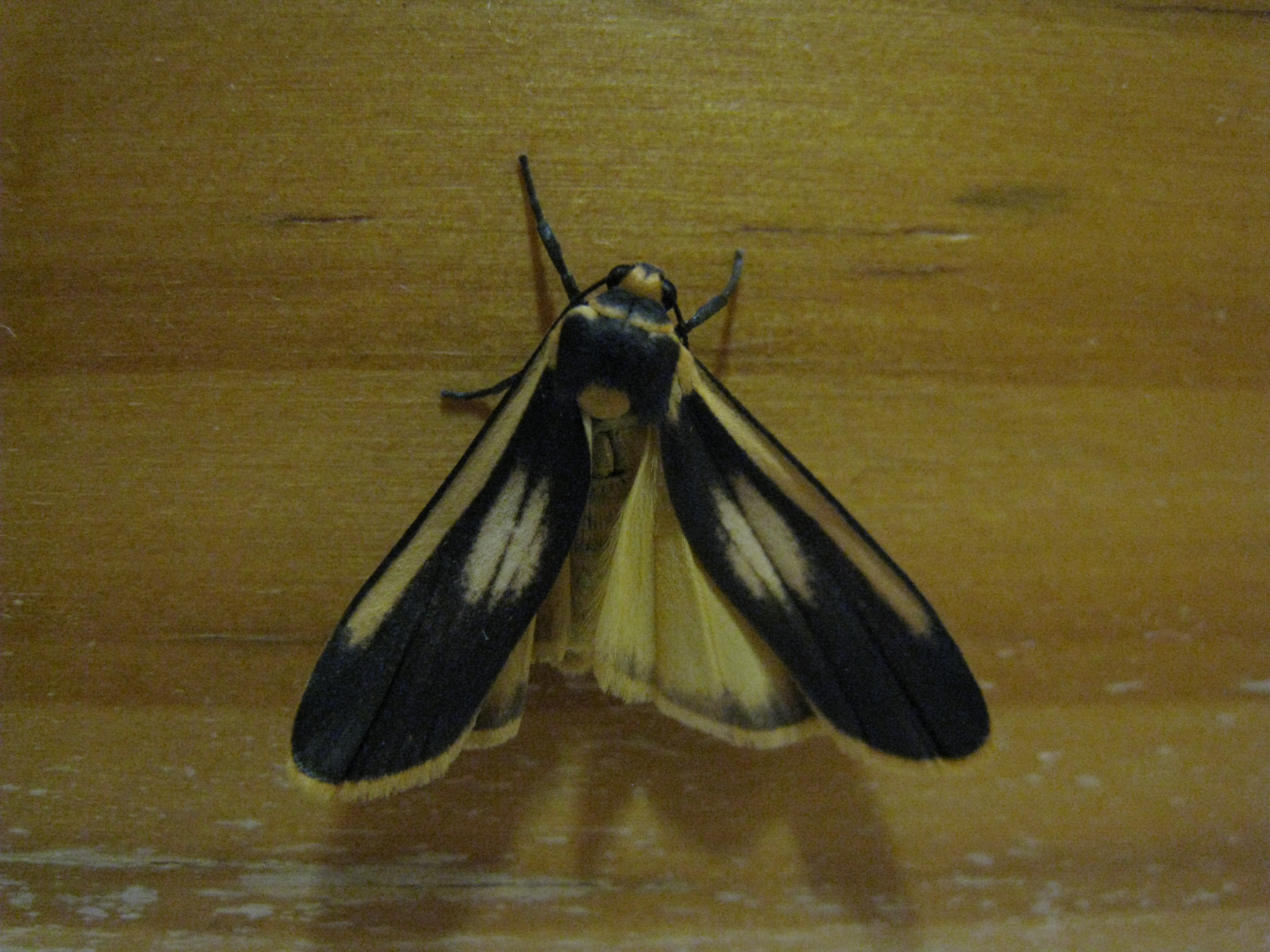 File:Kitchen Moth (5056479097)