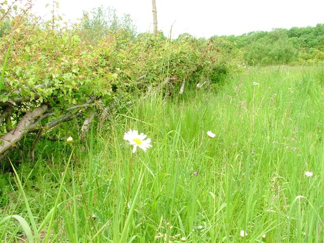 Layered Hedge and Meadow, Billingham Beck Valley Country Park - geograph.org.uk - 16792