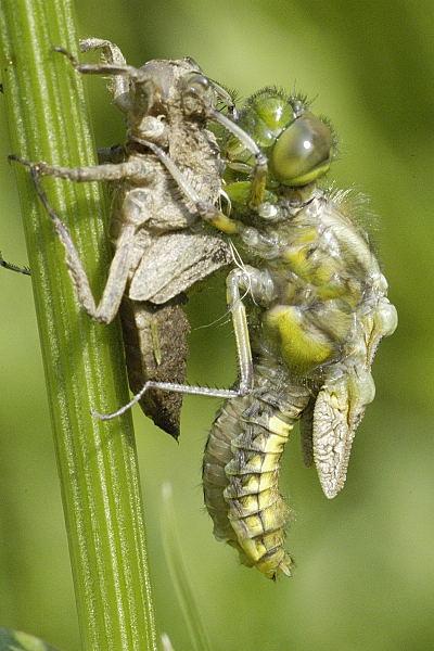 Premena larvy vážky ploskej na dospelého jedinca