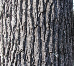 Description liquidambar styraciflua mature bark