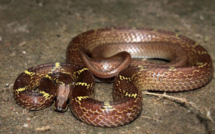 red cobra snake