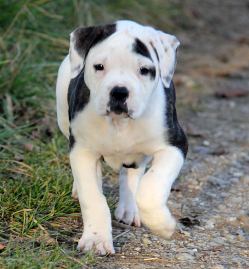 white-boxer-pitbull-mix