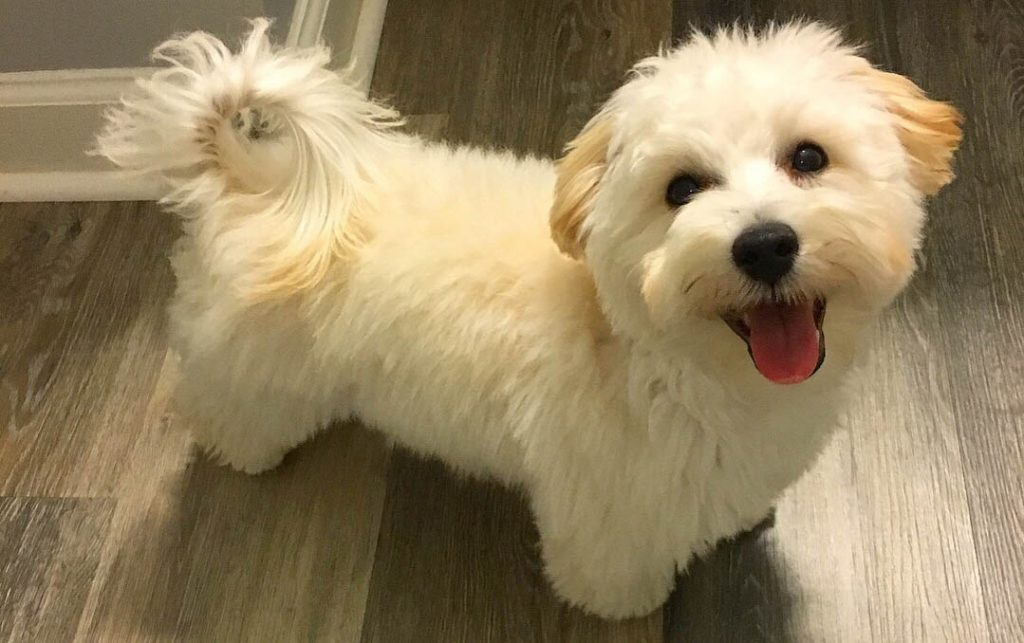 Image Result For Toy Poodles For