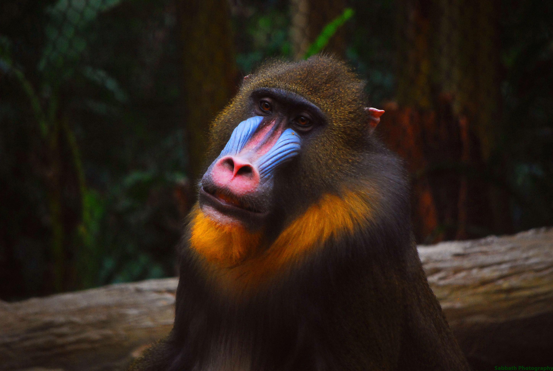 List of primates of Africa