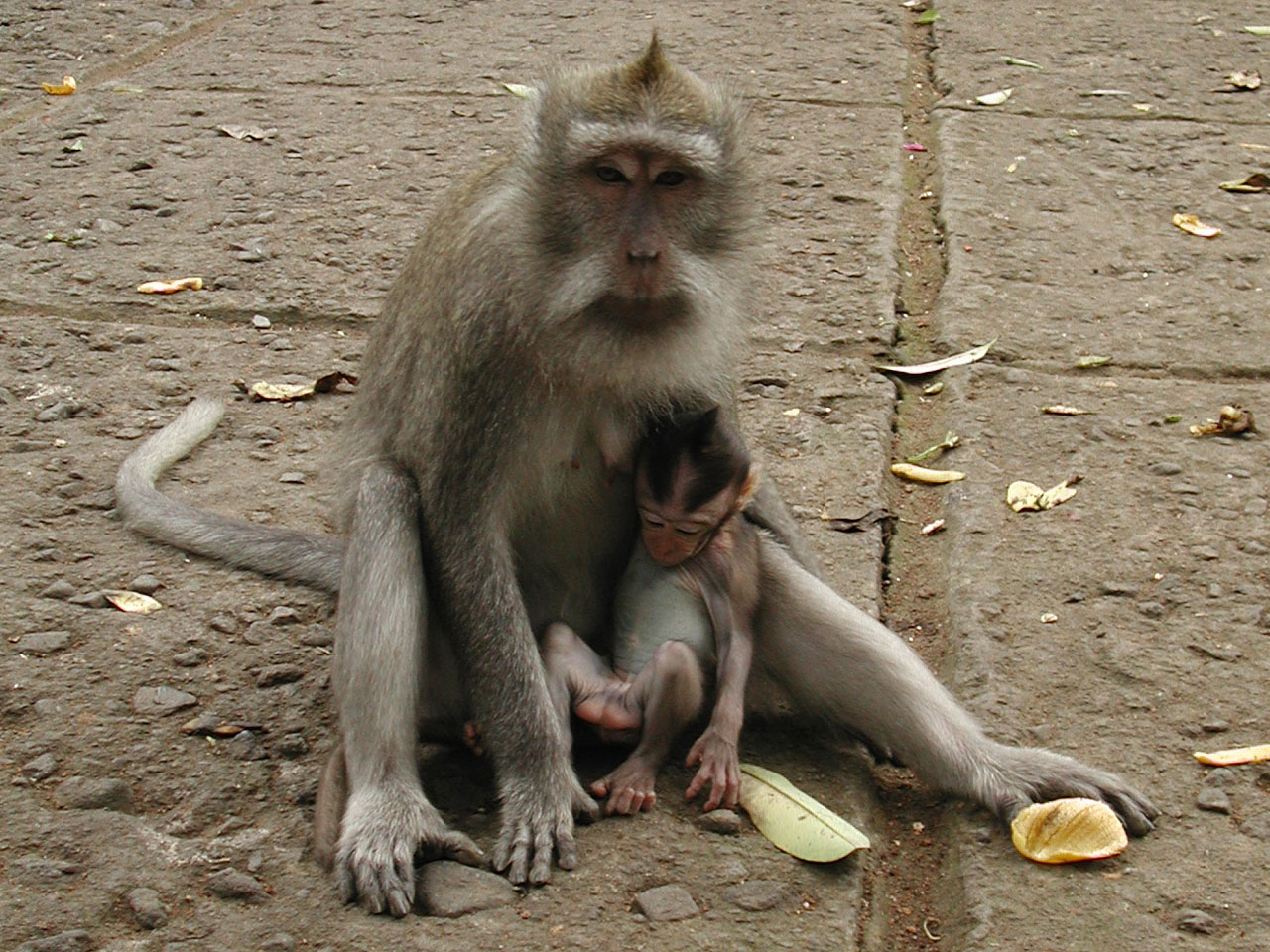 http://upload.wikimedia.org/wikipedia/commons/e/e0/MonkeyForestMotherAndChild.jpg