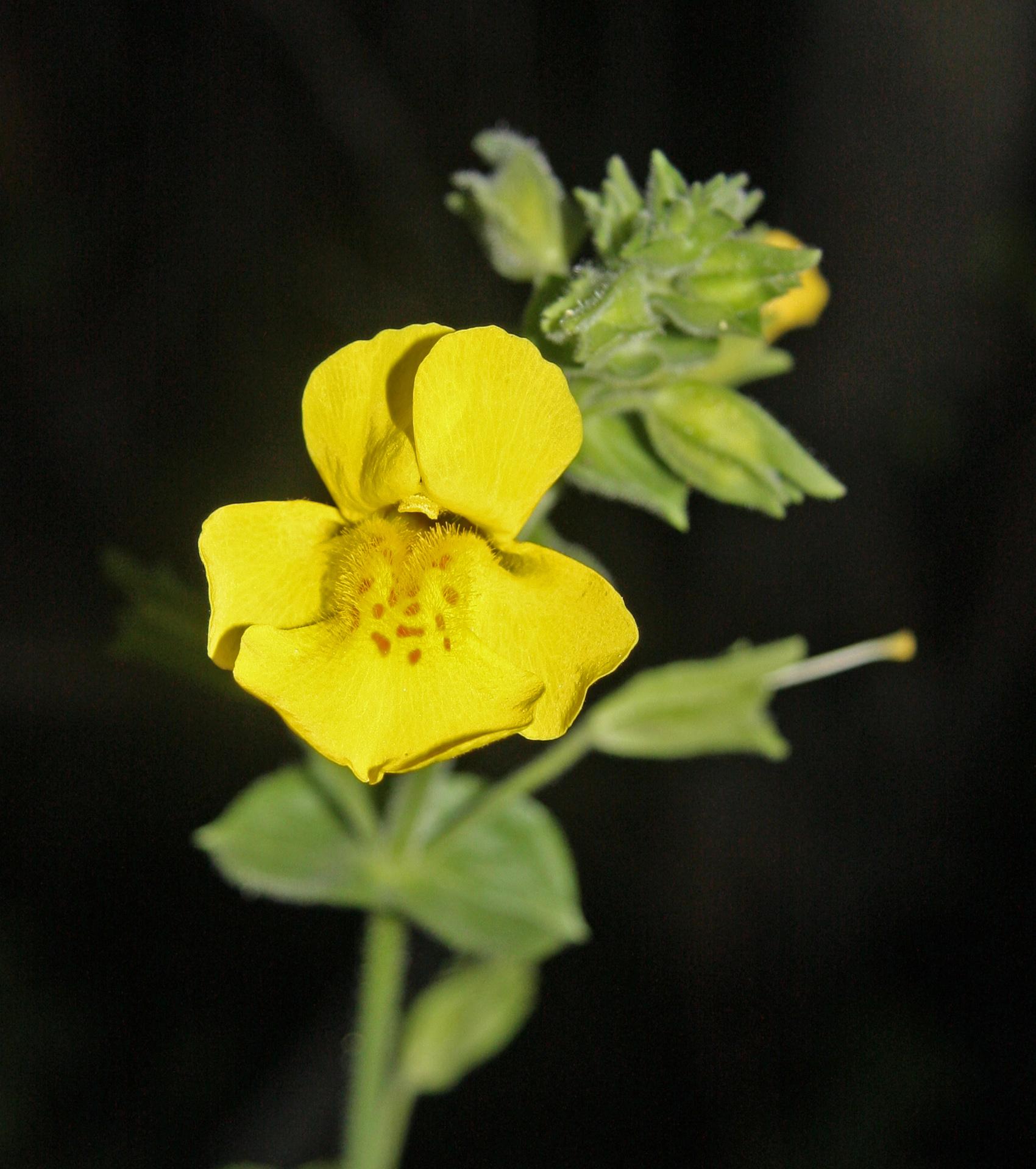 Filemonkey Flower Mimulus Guttatus Full Faceg Wikimedia Commons
