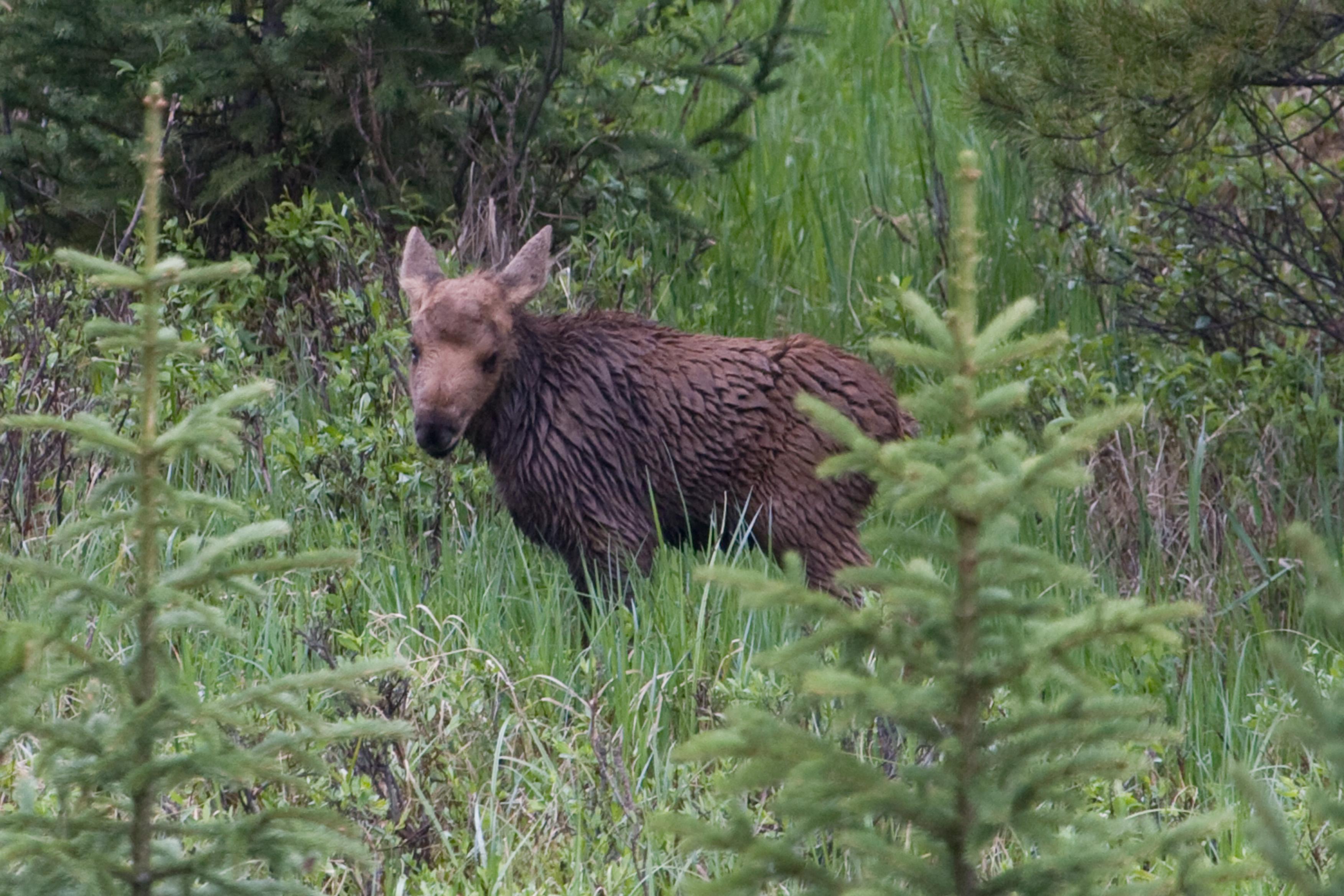 File:Moose calf in Rocky Mountain NP (2620392344).jpg - Wikimedia Commons