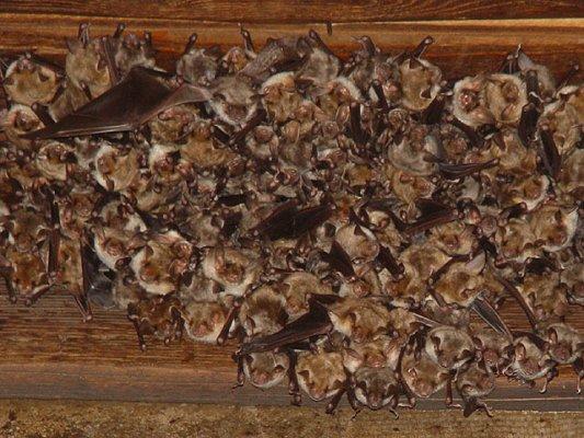 File Myotis Myotis Nursery Roost Jpg Wikipedia