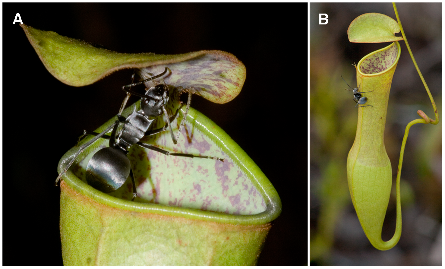 """(A) N. gracilis pitcher with visiting Polyrhachis pruinosa ant, showing the epicuticular wax crystal surfaces on the inner pitcher wall and on the underside of the pitcher lid. (B) The horizontal orientation directly above the pitcher opening puts the lower lid surface in an ideal position for prey capture."" Source: Baur et al, 2012. PloS one"