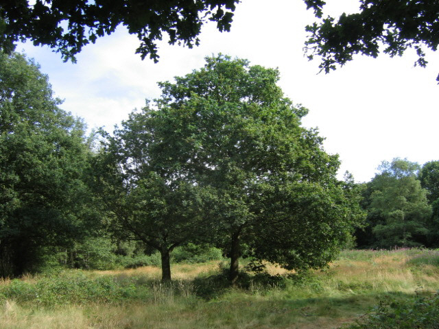 Old Oak Tree - geograph.org.uk - 203155