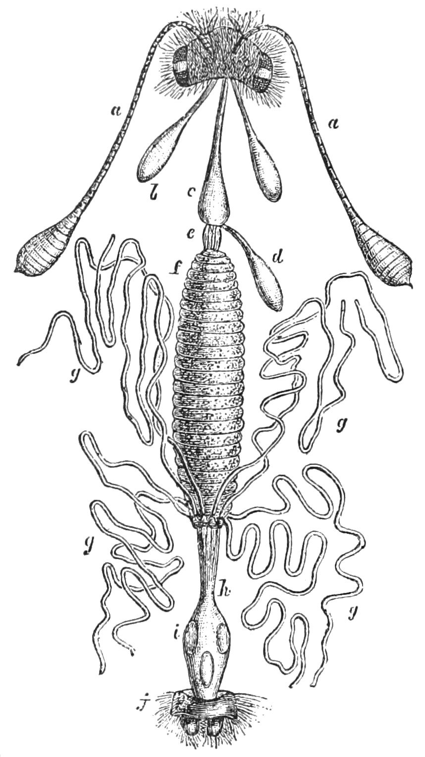 PSM V39 D248 Digestive apparatus of a sucking insect.jpg