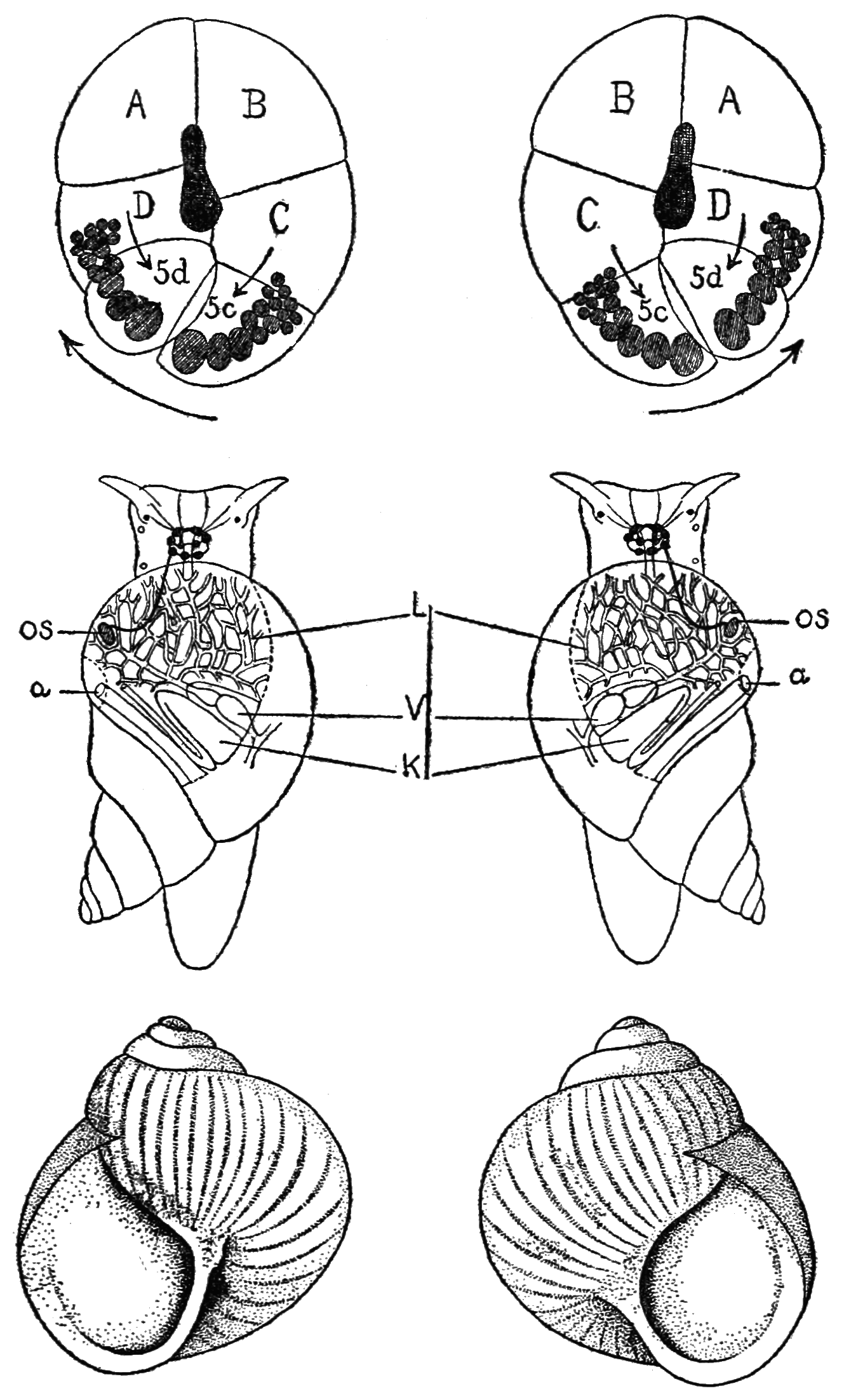 PSM V85 D245 Inverse symmetry in late embryos and adult stages of snails.png