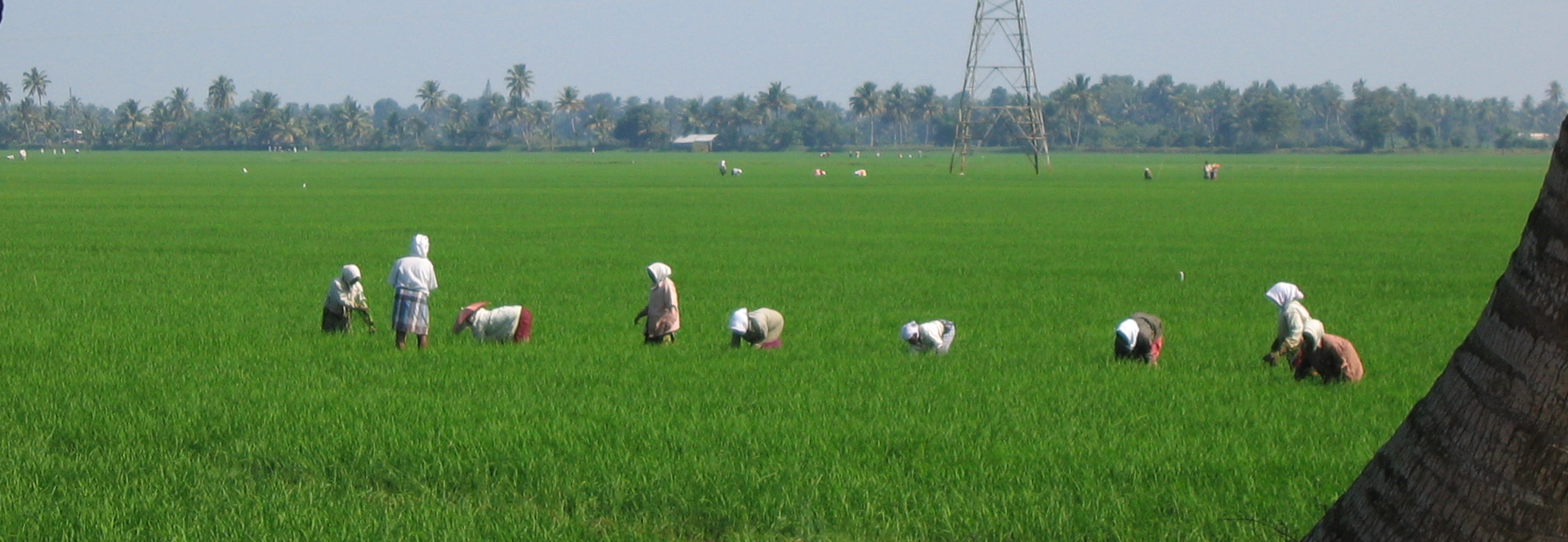 farming subsistence rice growing in india The agriculture sector of india, in some areas, is highly  pulses second largest  producer of rice, wheat, fruits, vegetables and overall third largest  the high  growth trajectories and continue to depend on subsistence farming.