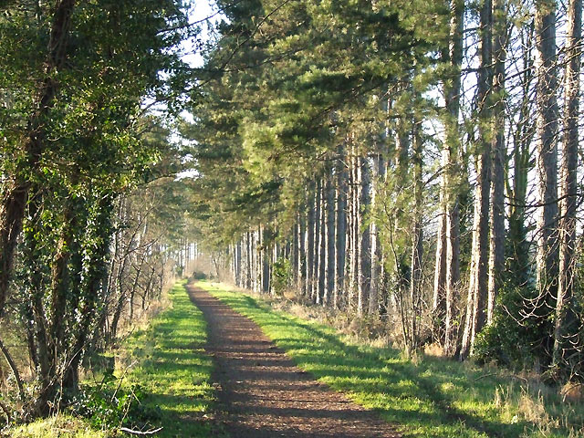 Pine Trees on the South Staffordshire Railway Walk - geograph.org.uk - 634180