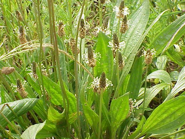 Plantago_lanceolata_flowers.jpg