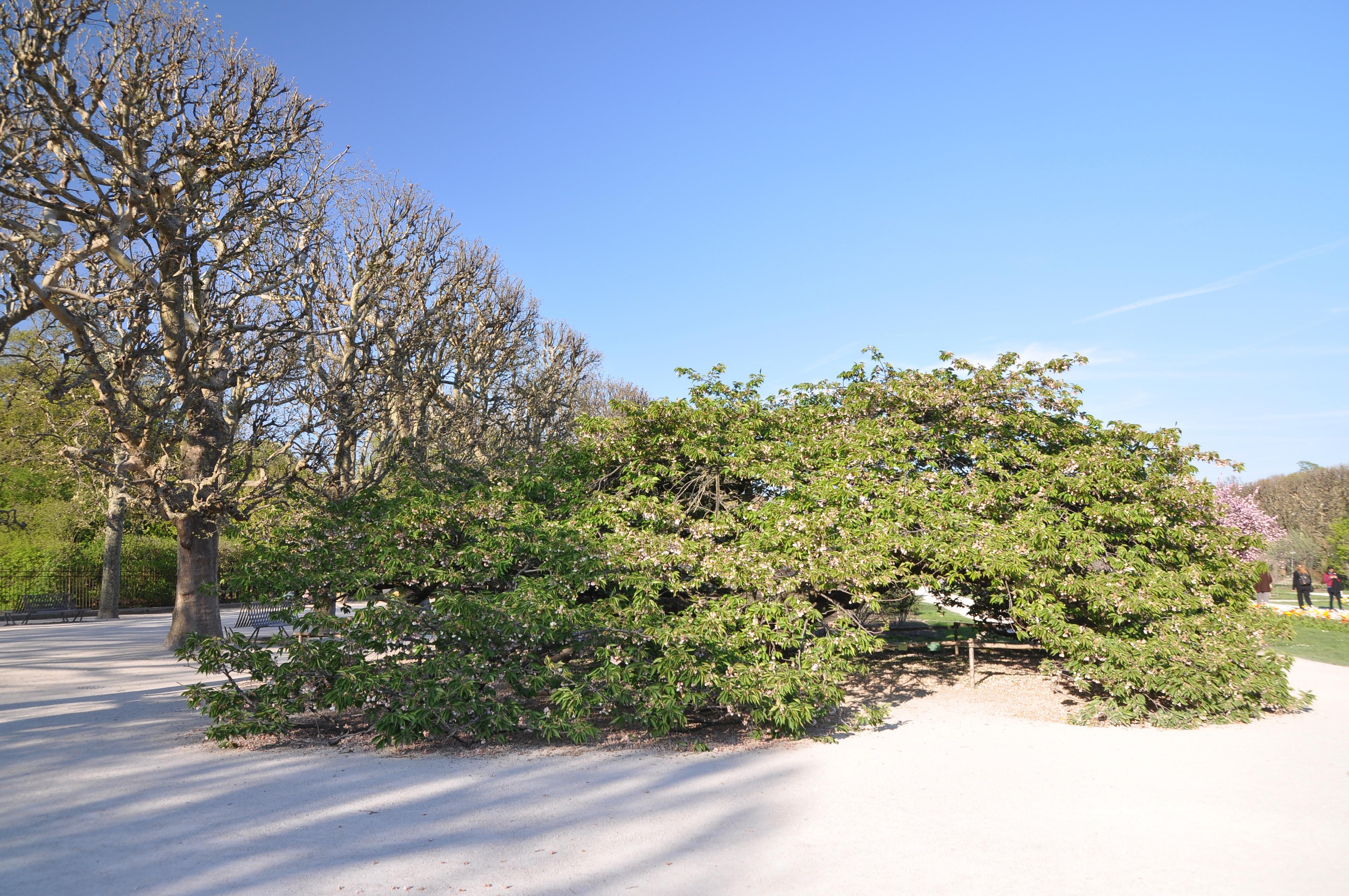 File Prunus Sato Zakura Shirotae in the Jardin des Plantes