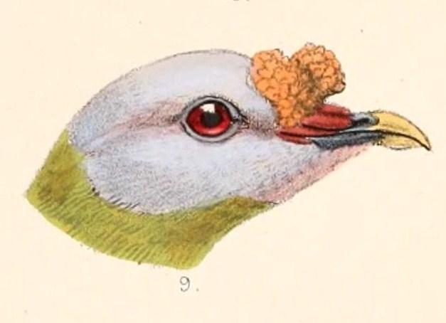 File:Ptilinopus granulifrons head 1899.jpg