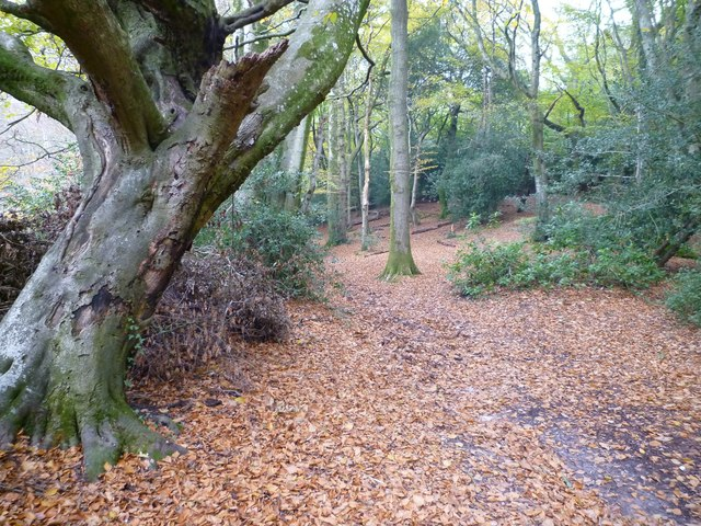 Puddletown Forest by Thomas Hardy's Cottage - geograph-3215290