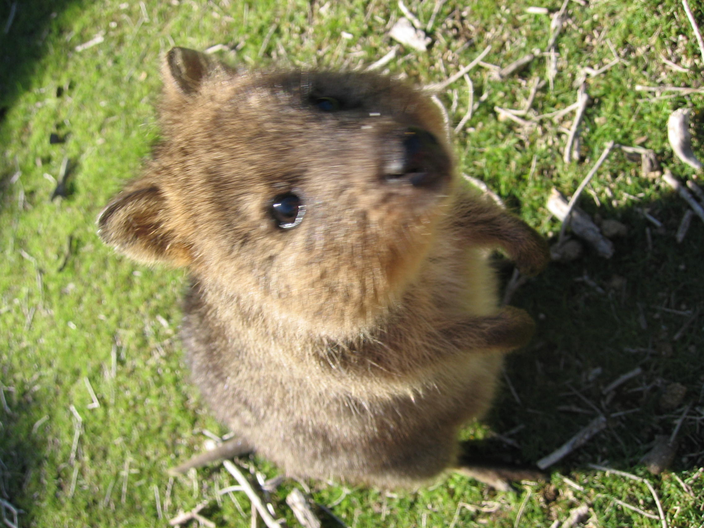 how to buy a quokka