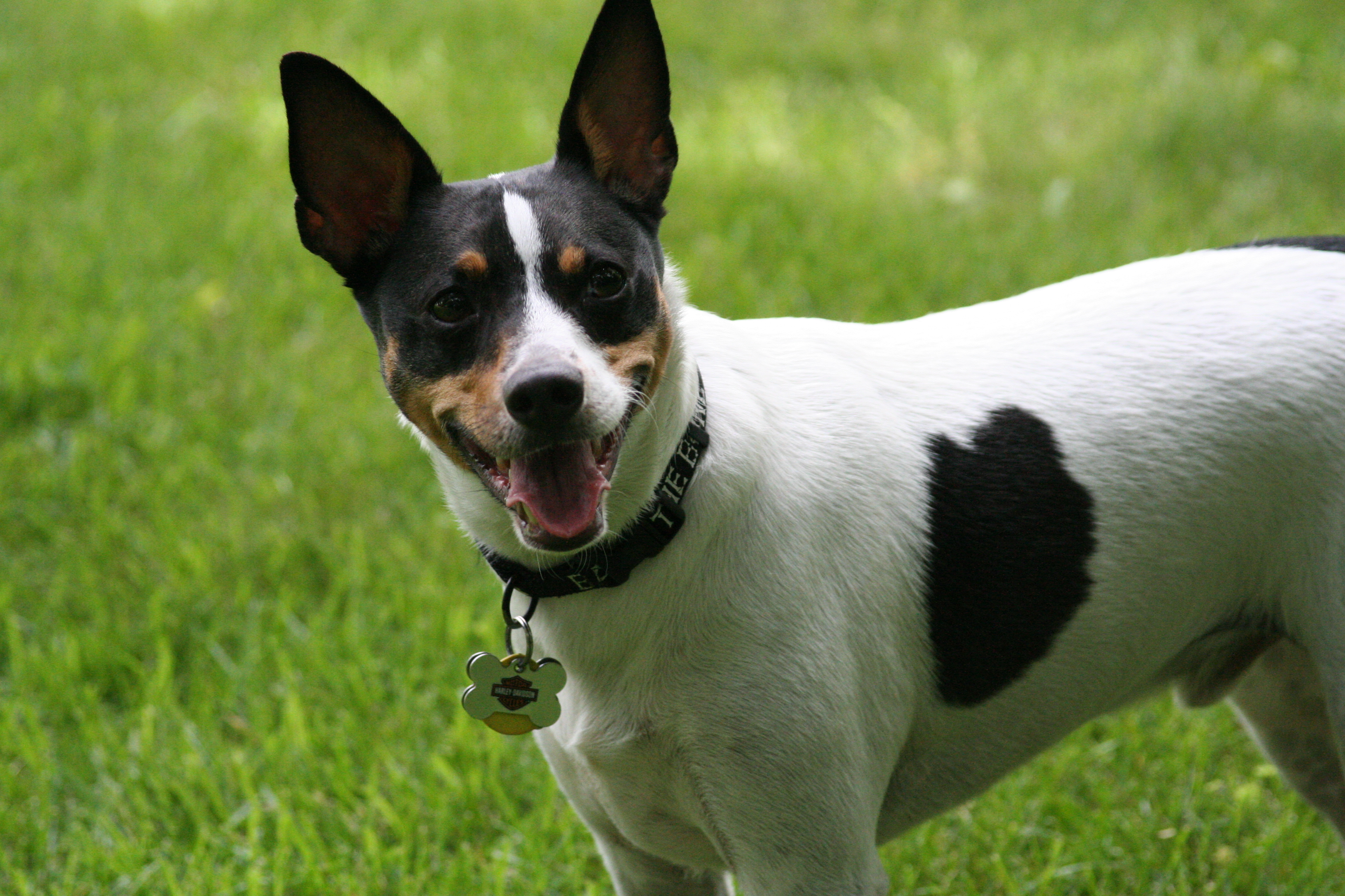 File:Rat Terrier head.jpg - Wikimedia Commons