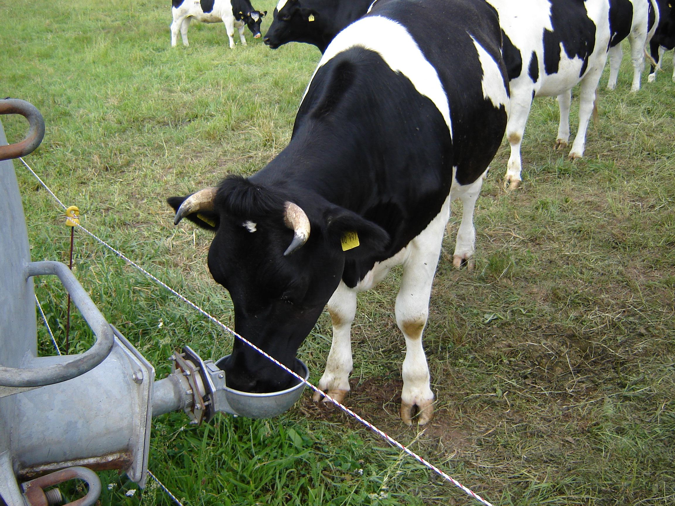 Datei:Rind nutzt Weidetränke.jpg – Wikipedia