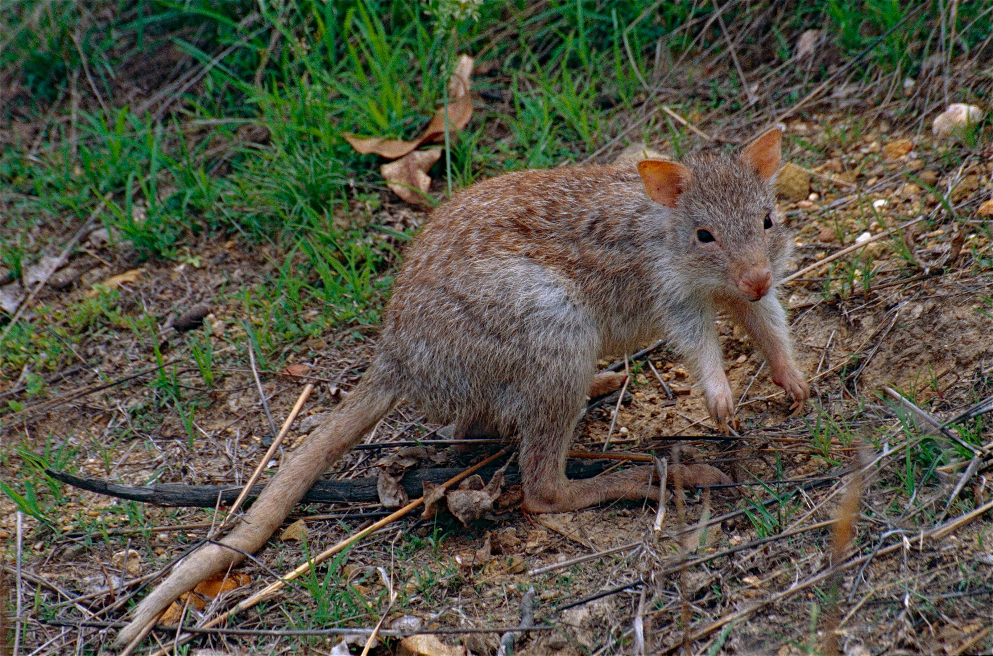 Queensland Rat Kangaroos