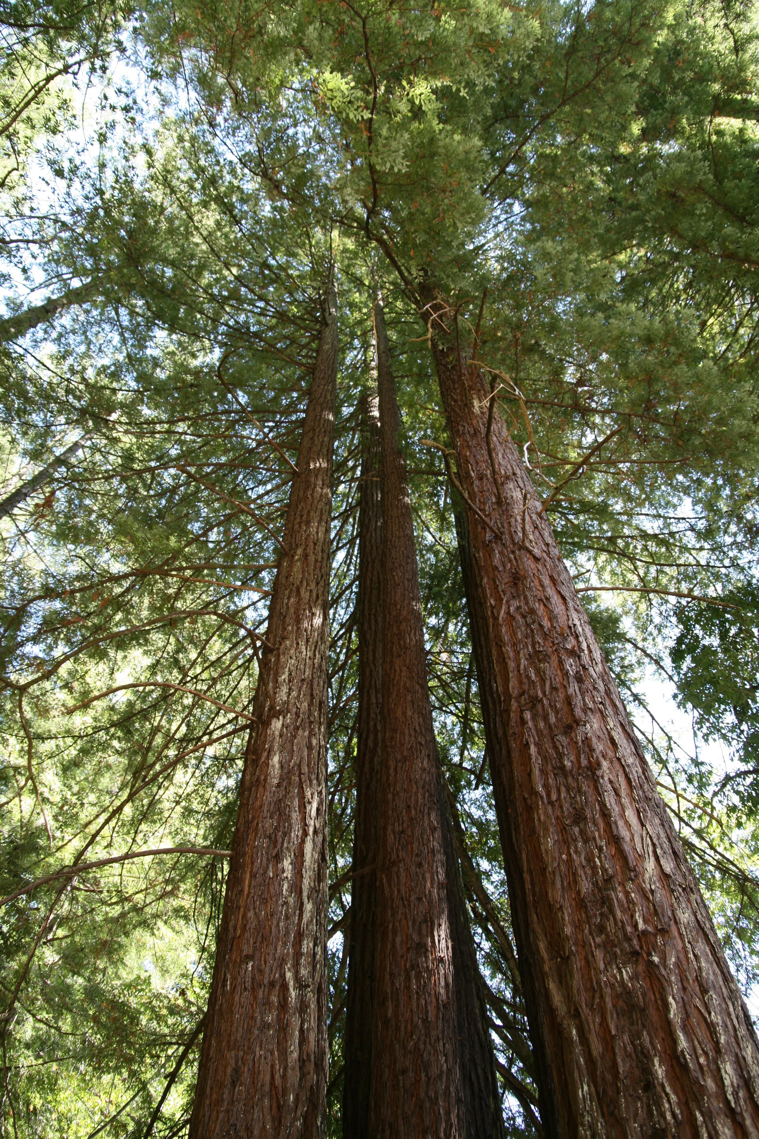 Sequoia; redwood
