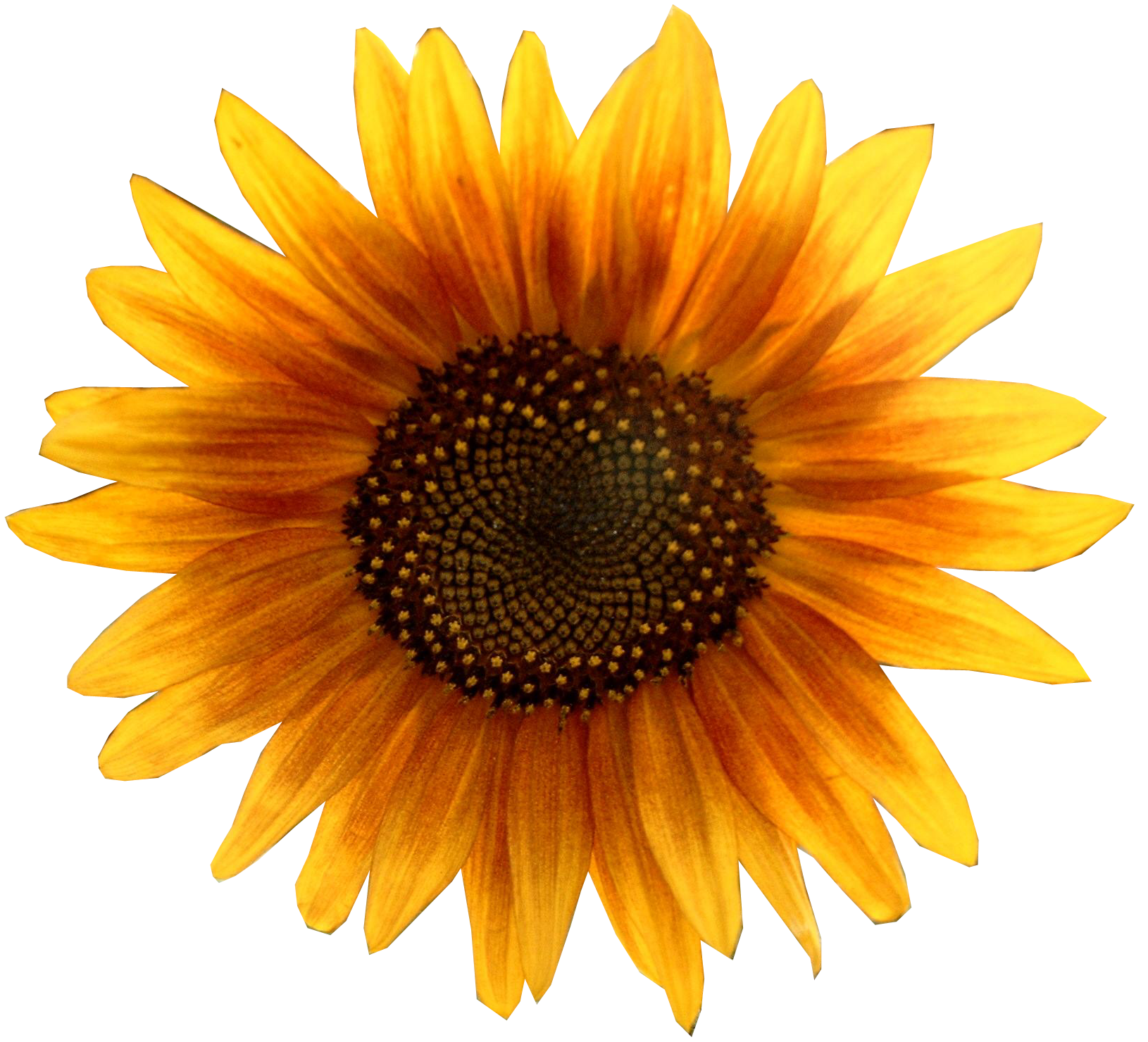 file sunflower metalhead64 edited png sunflower clip art black and white sunflower clip art pictures