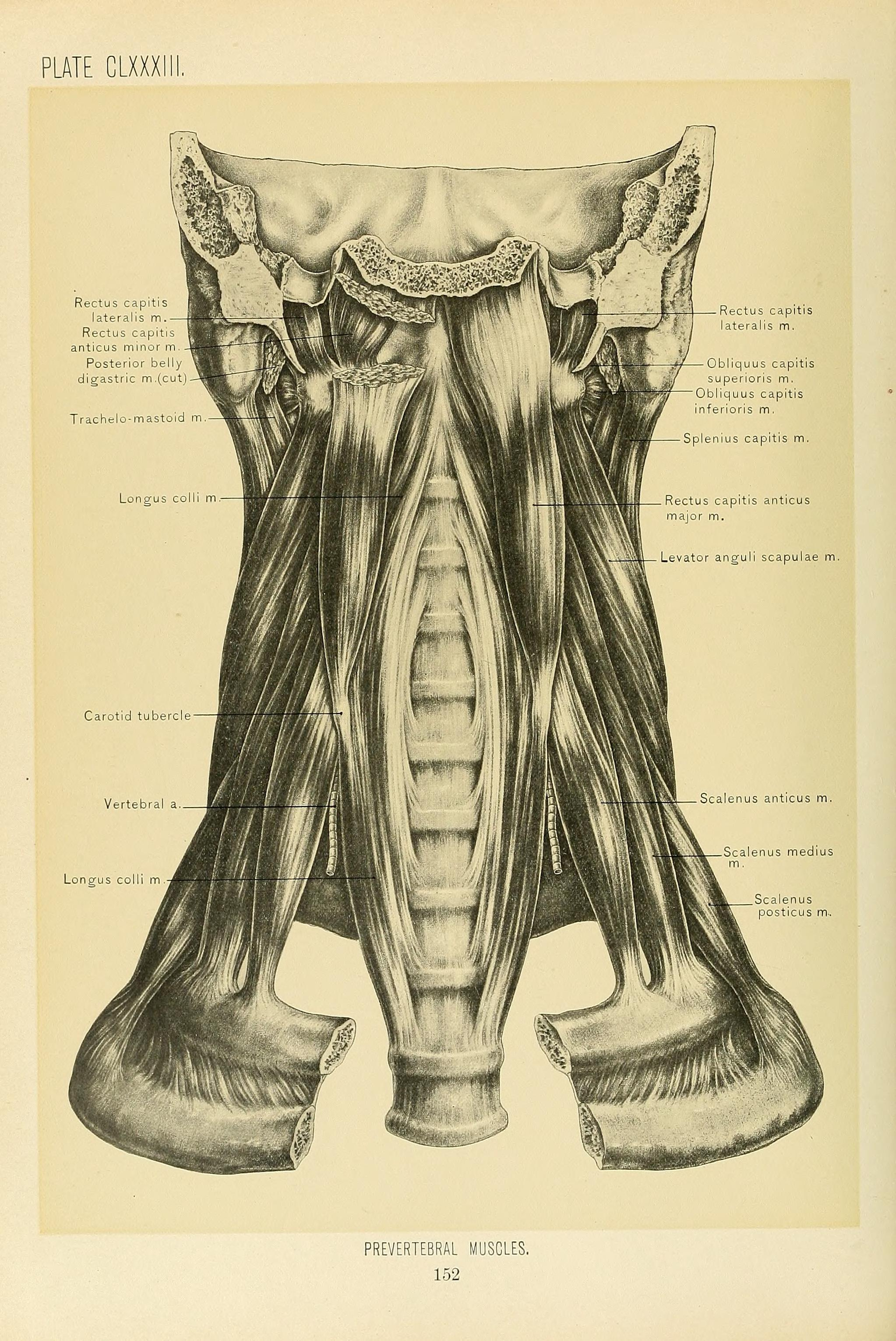 Filesurgical Anatomy A Treatise On Human Anatomy In Its
