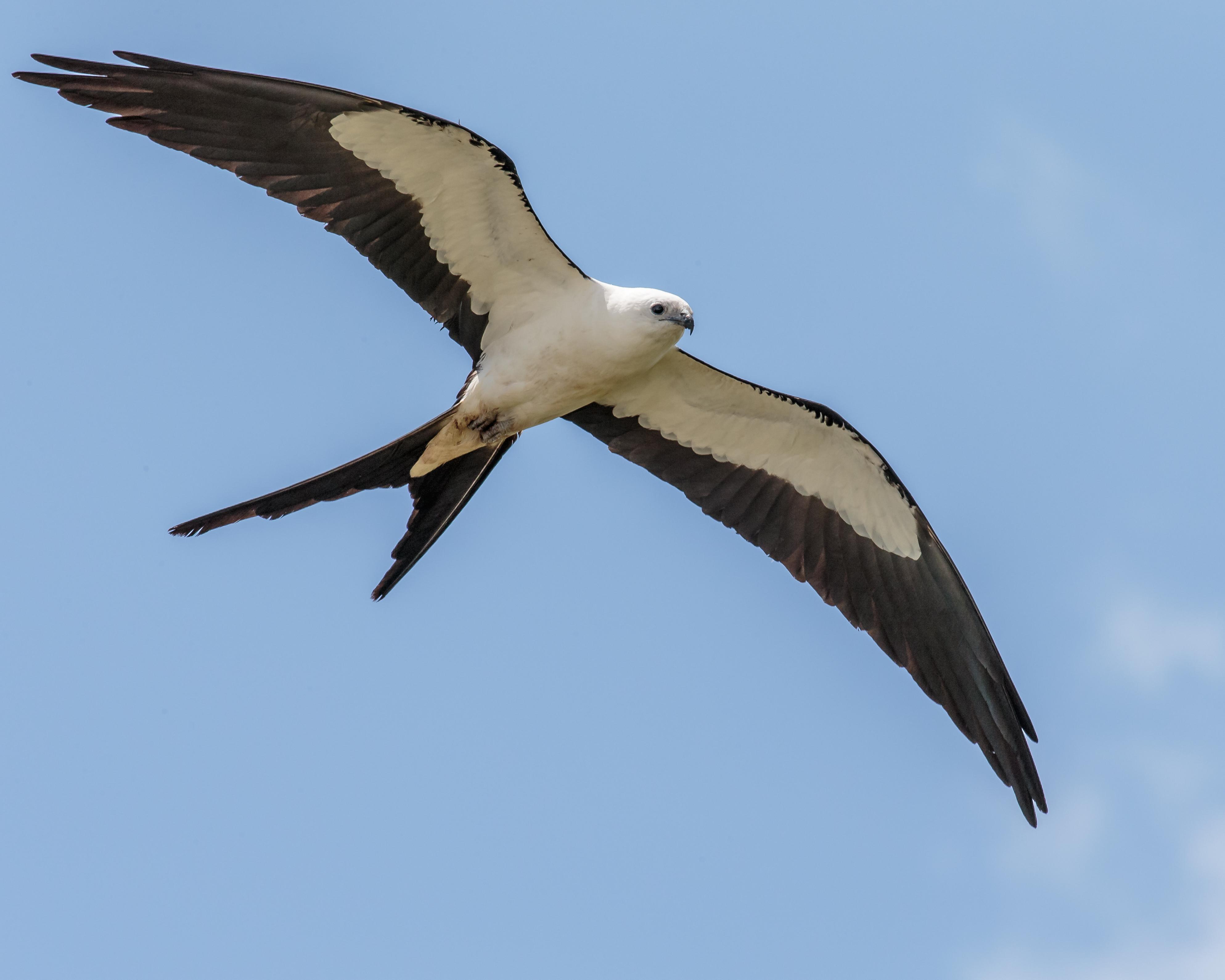 Swallow-tailed kite - Wikipedia