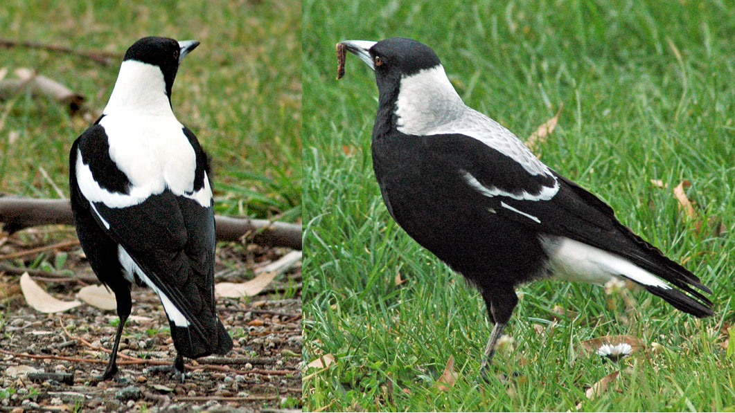 Christchurch Attack Wikipedia: Australian Magpies In New Zealand