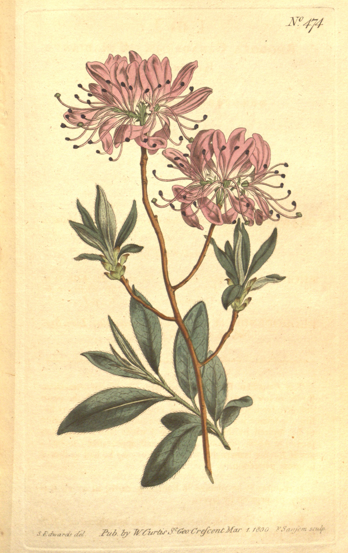 File:The Botanical Magazine, Plate 474 (Volume 14, 1800 ...