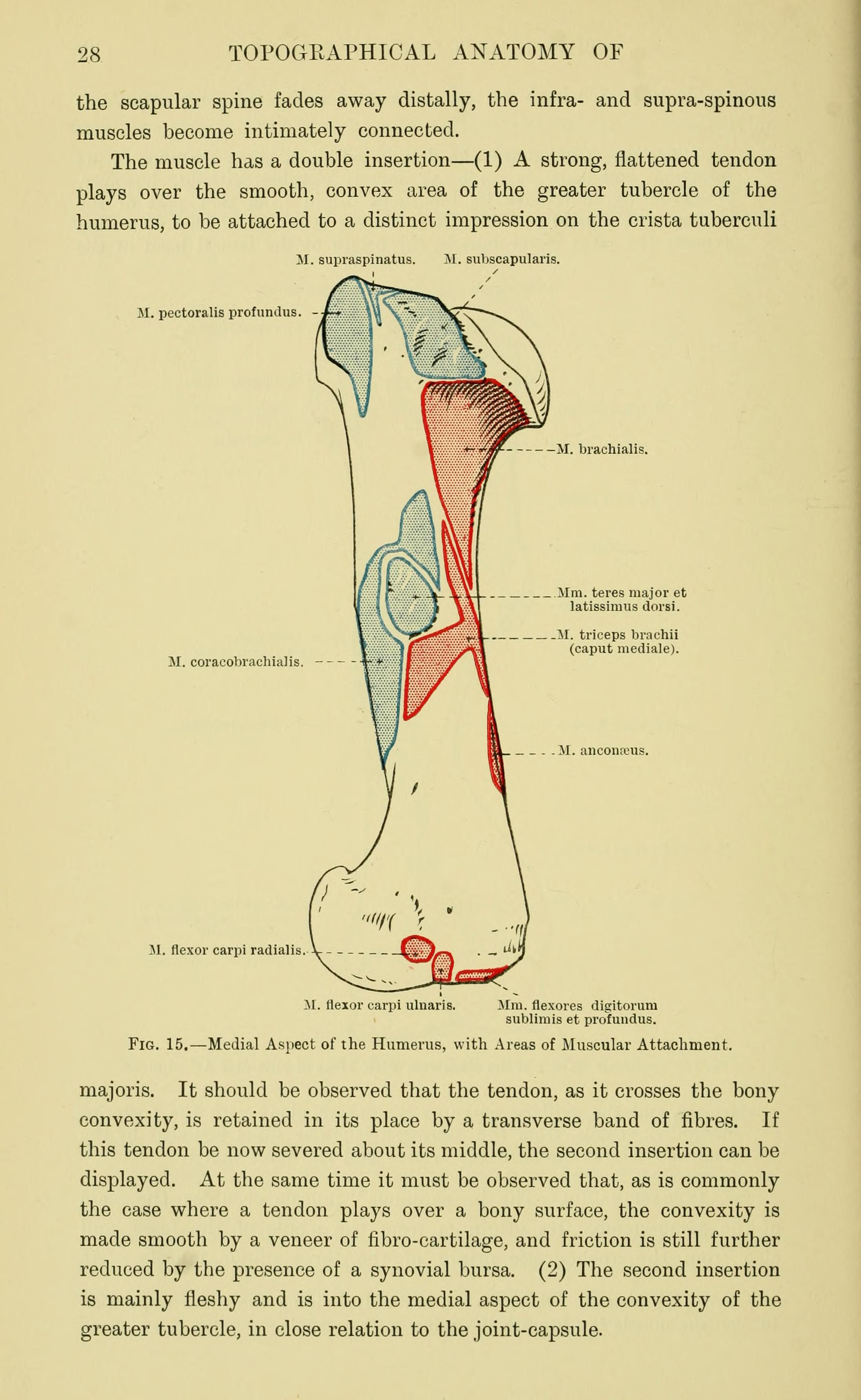 File:The topographical anatomy of the limbs of the horse (Page 28 ...