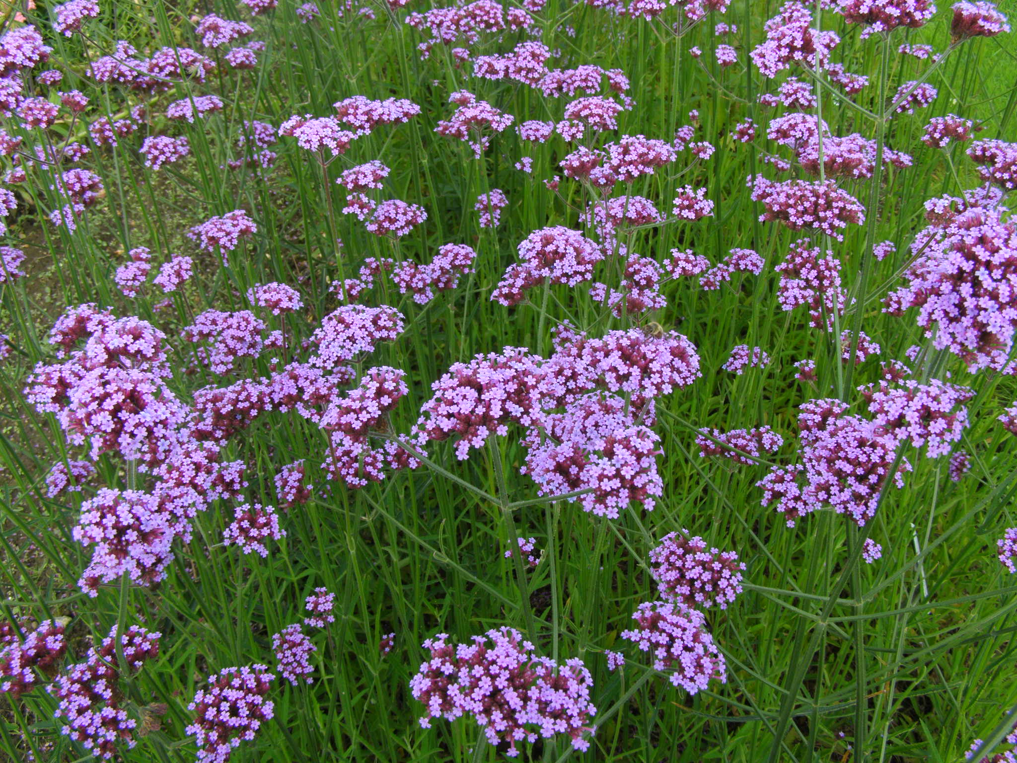 File verbena wikipedia for Verbena pianta