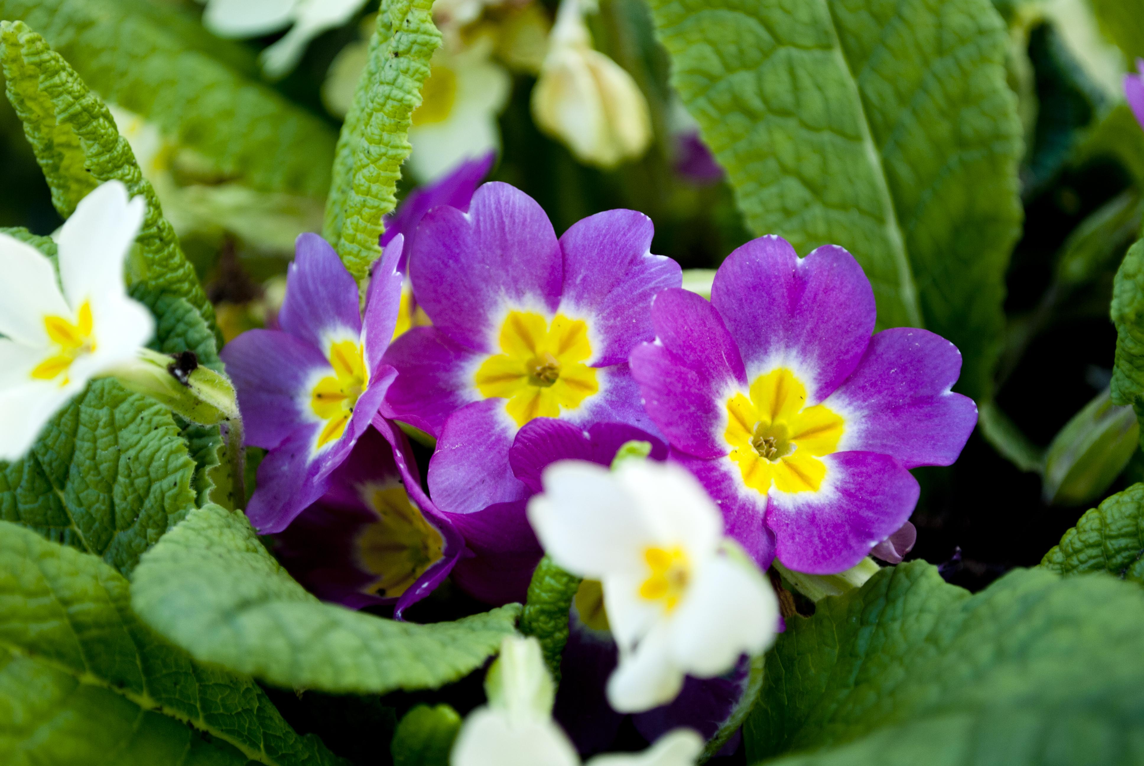 Многолетние ранние цветы для дачи фото