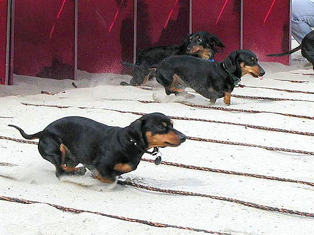 File:Wiener dogs races.jpg - Wikimedia Commons