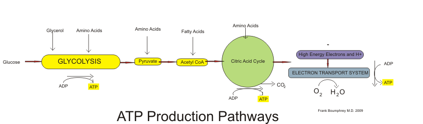 Aerobic production of ATP