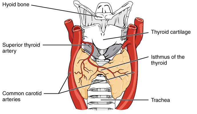 Anterior thyroid