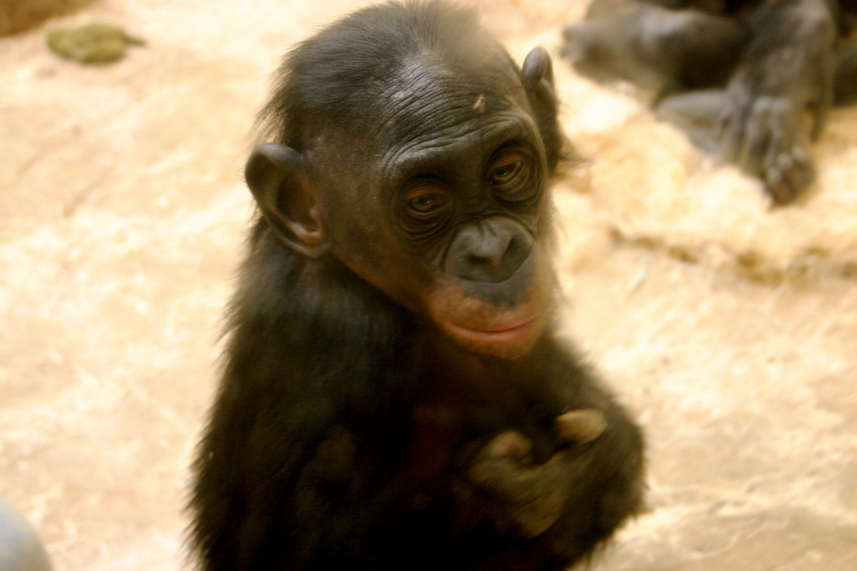 File:Baby Bonobo.JPG  Wikipedia, the free encyclopedia