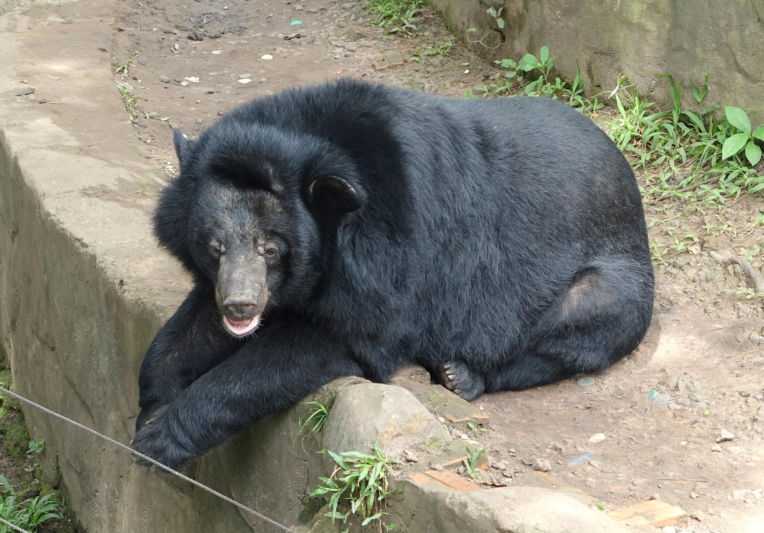 File:Bear (unknown) - Saigon Zoo and Botanical Gardens - Ho Chi Minh City, Vietnam - DSC01187.JPG - Wikimedia Commons