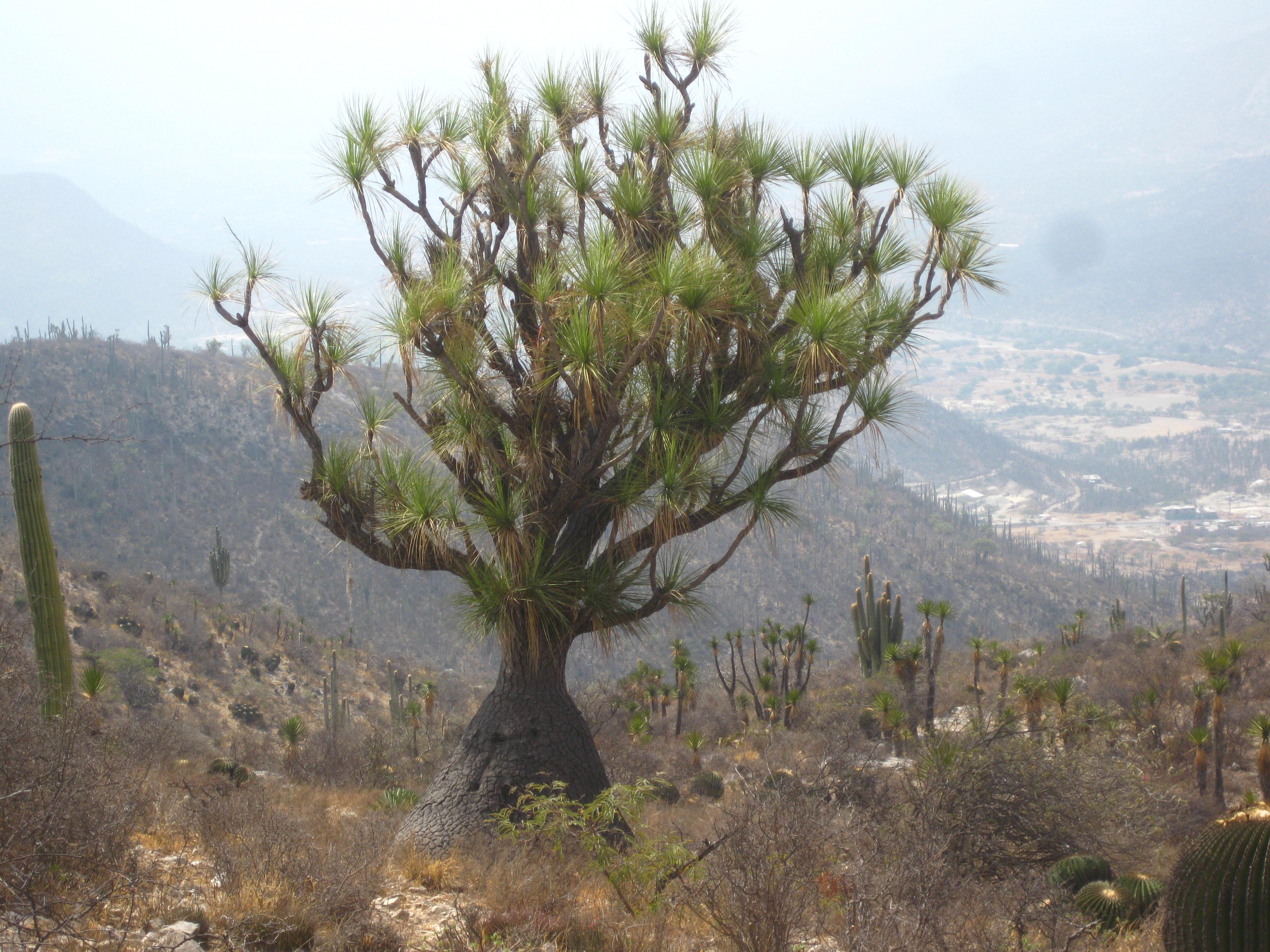 File:Beaucarnea gracilis Puebla.jpg - Wikimedia Commons