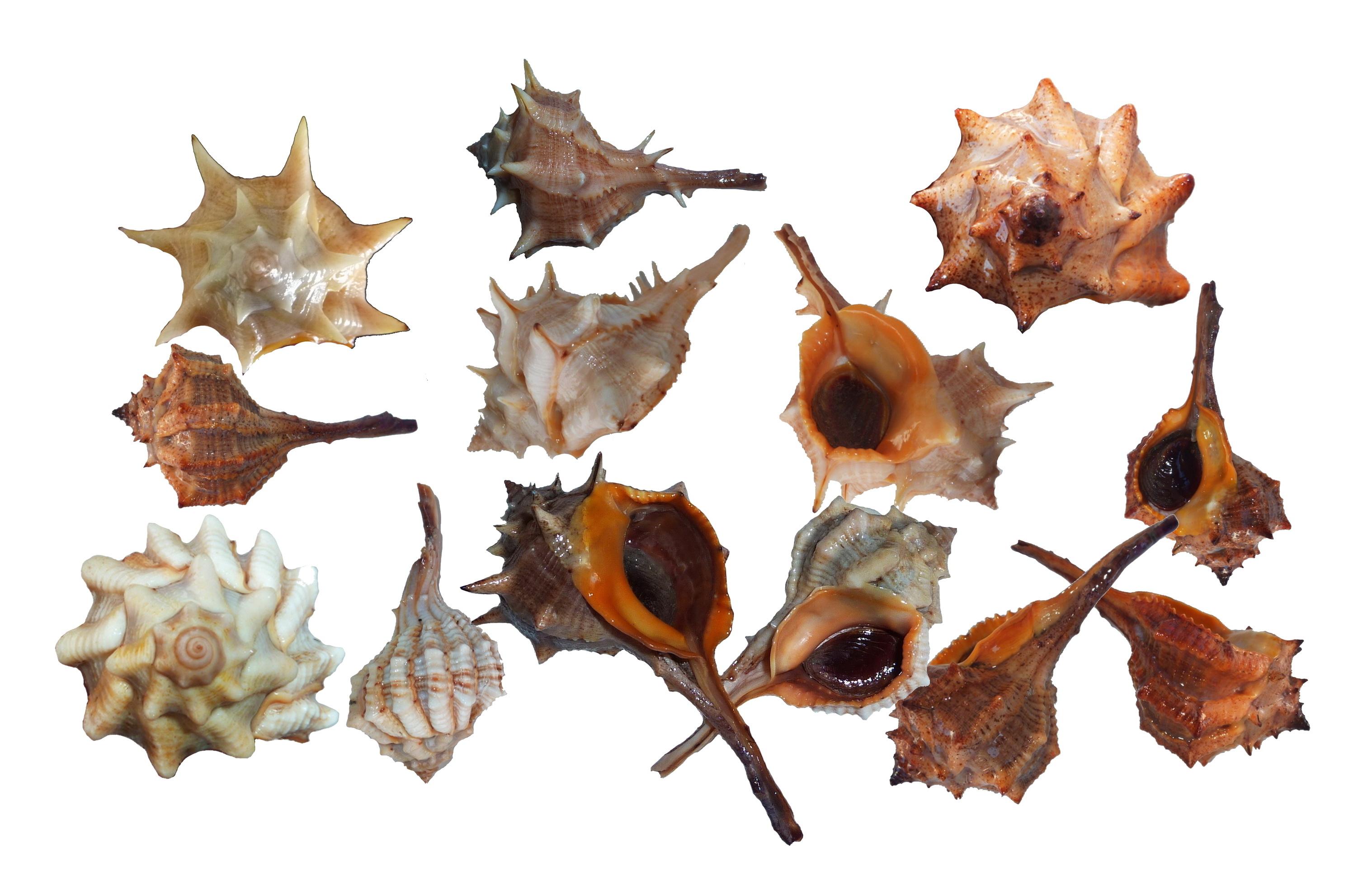 espèce Bolinus brandaris couleur pourpre
