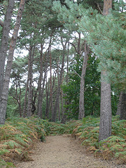 Woods on the island Brownsea Wood.png