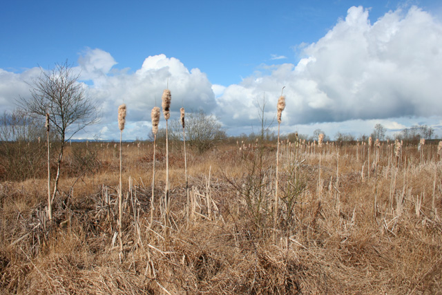 Bulrushes on Whixall Moss - geograph.org.uk - 763975
